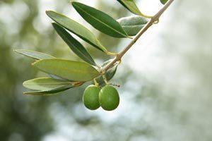 foglie di olivo proprietà